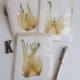 groentekaart venkel: ingedroogde venkelschijf in handgeschept papier